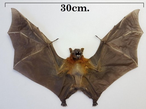 Real bat - Cynopterus brachyotis (spread) - Taxidermy - Vampire