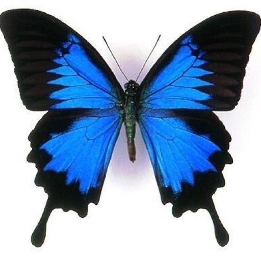PAPILIO  ULYSSES ♂ - INDONESIA  - MOUNTED - A1