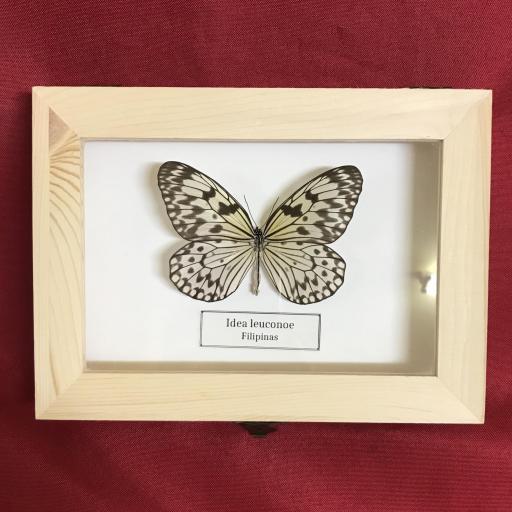 Cuadro Real Mariposa -  Taxidermia -  Idea leuconoe  ( Filipinas )