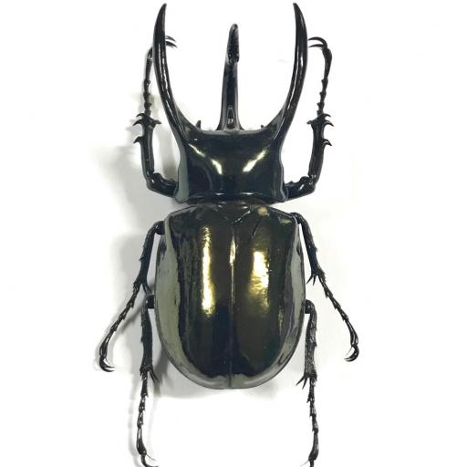 Chalcosoma atlas - mounted - A1