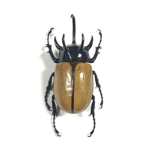 Eupatorus gracilicornis - mounted - A1