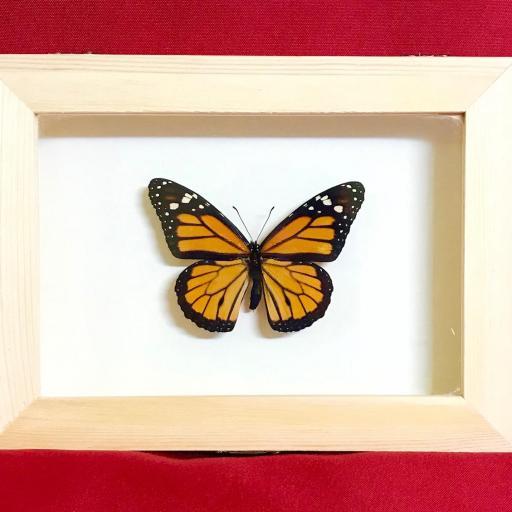 CUADRO REAL MARIPOSA MONARCA -  Nymphalidae Danaus Plexippus TAXIDERMIA