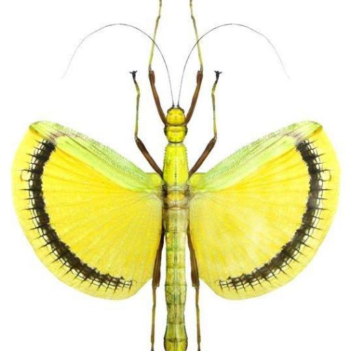 Tagesoidea nigrofasciata Mounted Female A1