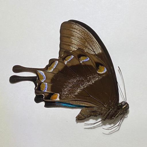 Butterfly Papilio ulysses Indonesia Unmounted A1  Taxidermy Insects