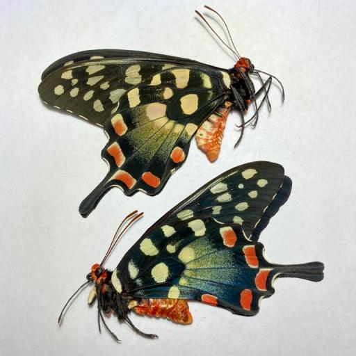 Butterfly Papilio antenor Pair Madagascar A1 Unmounted Taxidermy Insects