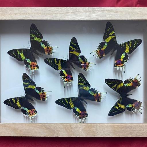 CUADRO con 6 Mariposas auténticas disecadas - Urania ripheus