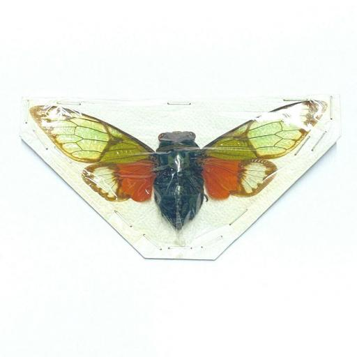 Awesome Cicada Salvazana imperialis!! Taxidermy Insects Tailandia Mounted A1