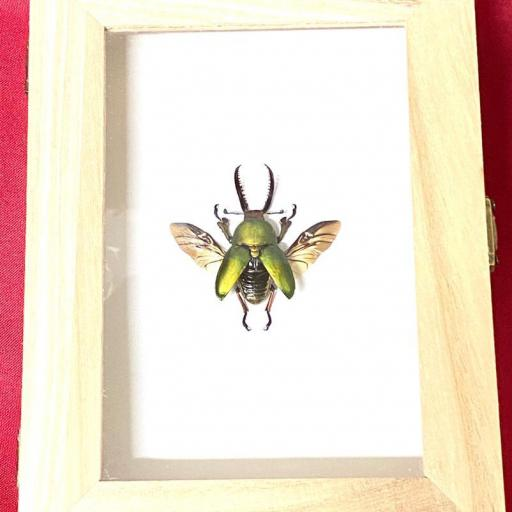 Lucanidae Lamprima adolphinae Mounted Framed Taxidermy Insects