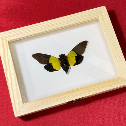 Trengganua sibylla Cicada Mounted Caja de Madera Taxidermy Insects Activo