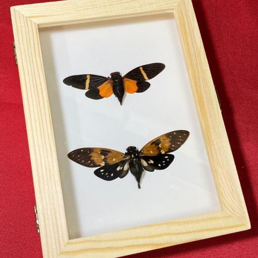 Tosena paviei & Ambragaeana ambra - Cicada Mounted Caja de Madera Taxidermy Insects