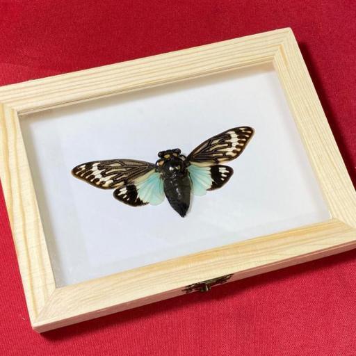 Toseana splendida - Big Cicada Mounted Caja de Madera Taxidermy Insects