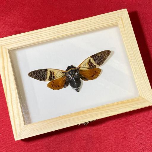 Angamiana floridula - Big Cicada Mounted Caja de Madera Taxidermy Insects