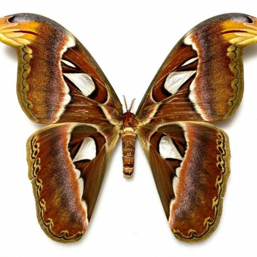 Saturniidae Attacus atlas ♀A1 Mounted (No Framed)