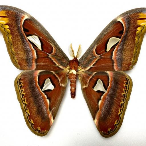 Saturniidae Attacus atlas ♂ A1 Mounted (No Framed)