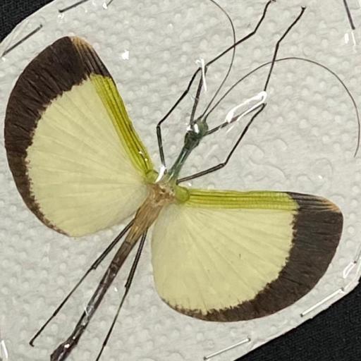 Male Beautiful Tagesoidea nigrofasciata Mounted A1 (not Framed)