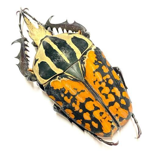 60/63mm. Nice Male Mecynorrhina oberthuri decorata - Tanzania A1 Unmounted