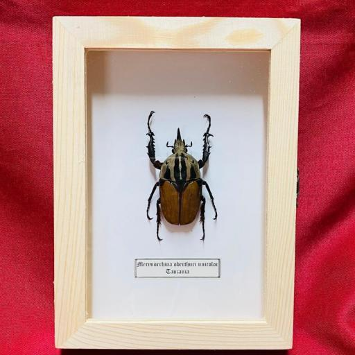 Framed - Mecynorrhina oberthuri unicolor -  Taxidermy Insects - Tanzania - Mounted A1