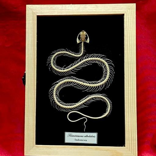 Snake Skeleton , Indonesia Mounted A1 (framed)
