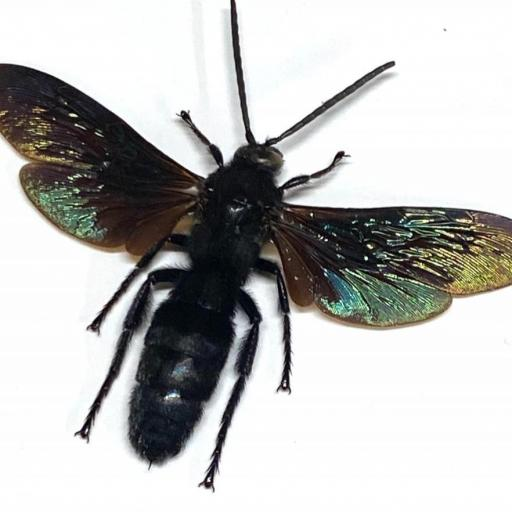 Megascolia Velutina ssp. Ducalis - Sulawesi- Indonesia - Taxidermy Insects