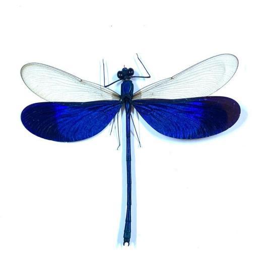 Neurobasis Kaupi - Sunda Islands - Indonesia - Taxidermy Insects