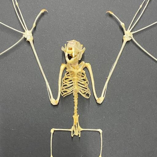 Nice Bat Skeleton - Cynopterus sphinx - Excellent Quality! Big!