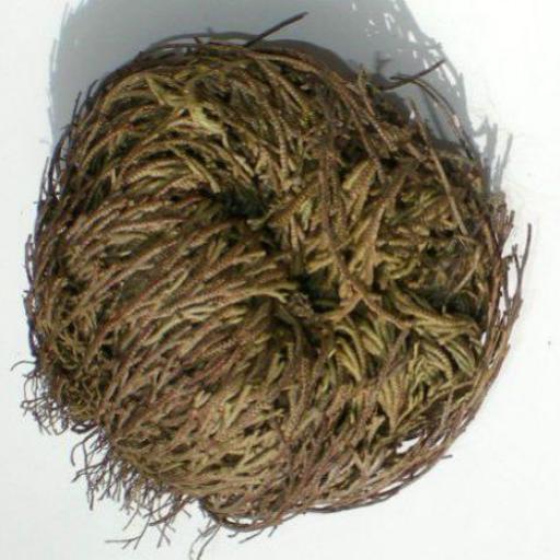 ROSA DE JERICO ( mediana)