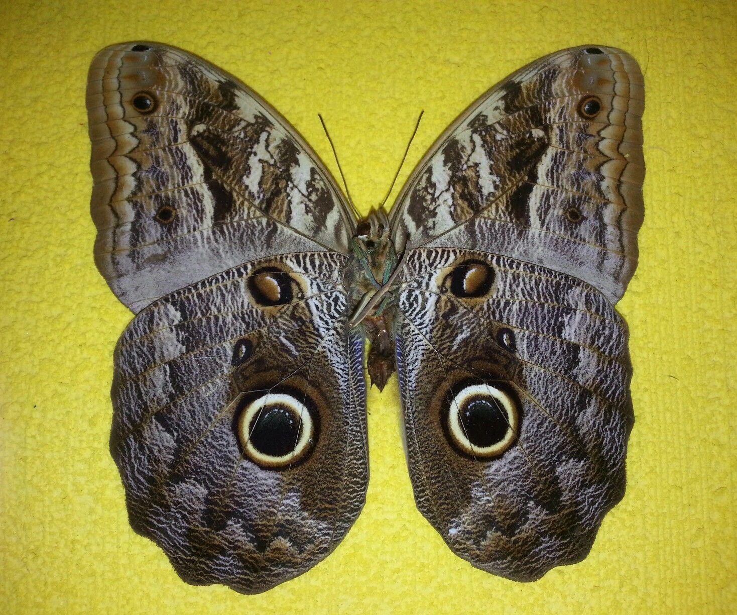 Mariposa Disecada ☆Mariposa buho Caligo sp.☆