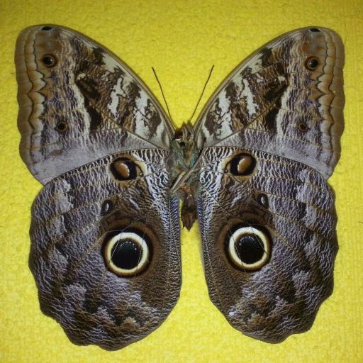 Mariposa Disecada ☆Mariposa buho Caligo sp.☆ [0]