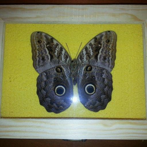 Mariposa Disecada ☆Mariposa buho Caligo sp.☆ [1]