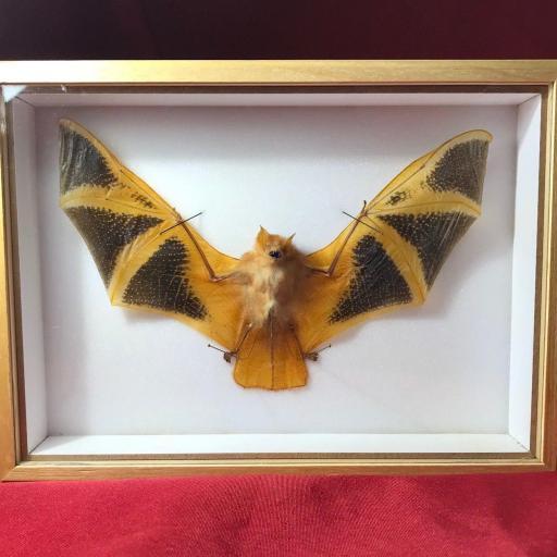 Auténtico Vampiro Murciélago disecado Taxidermia en caja entomológica