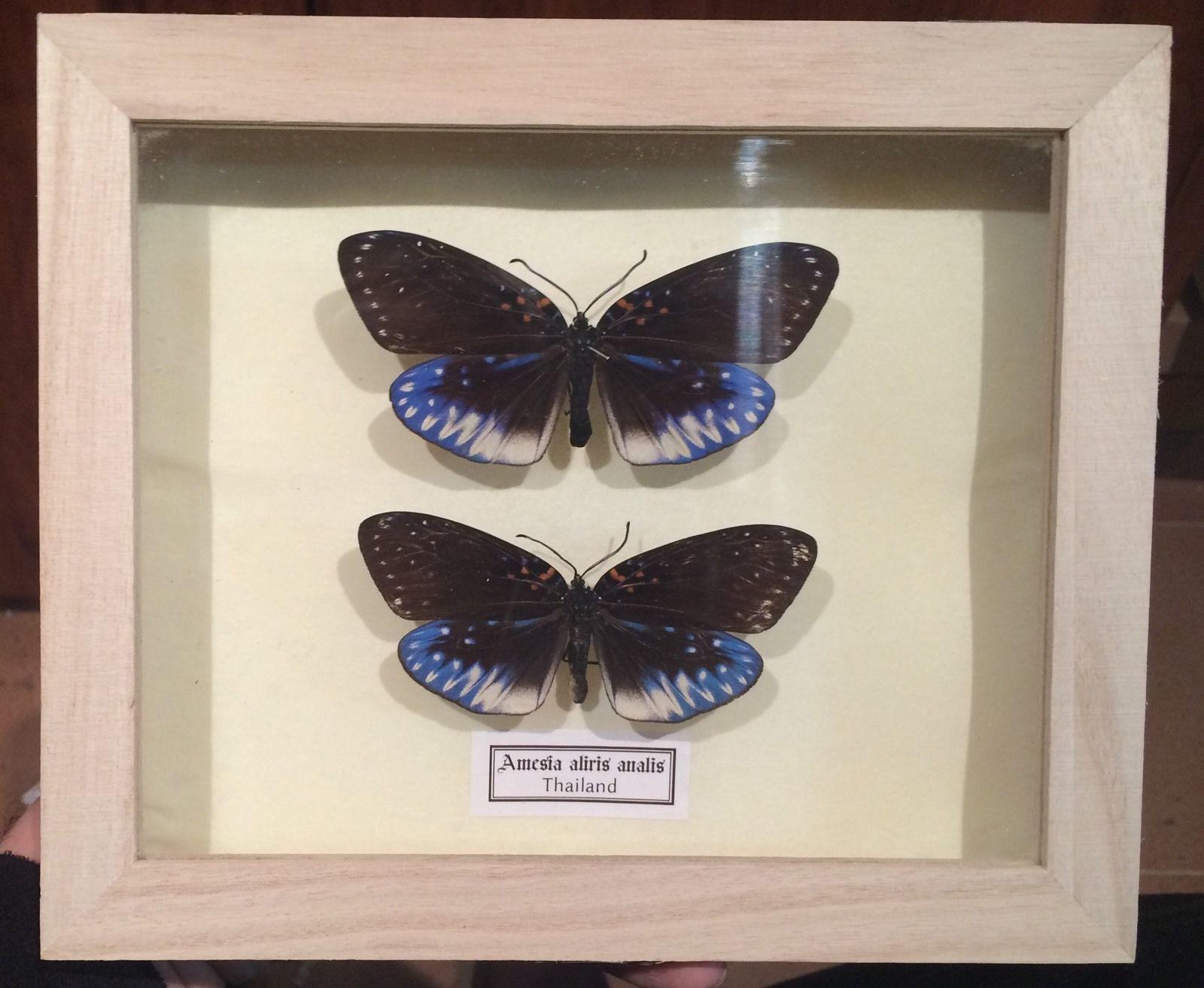 Auténticas mariposas Amesia-aliris-analis en Caja de Madera 22x18x4-cm