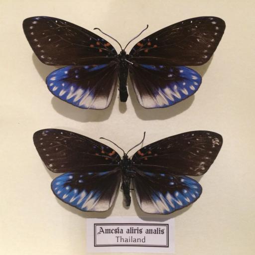 Auténticas mariposas Amesia-aliris-analis en Caja de Madera 22x18x4-cm   [1]