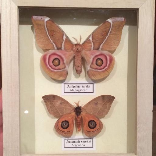 Auténticas mariposas Saturniidae A. Suraka A. Coresus en Caja de Madera 22x18x4 cm.
