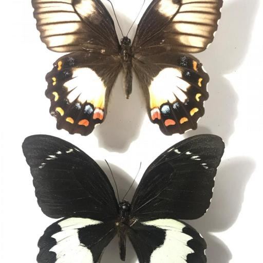PAPILIO AMBRAX PAIR - INDONESIA - MOUNTED - A1