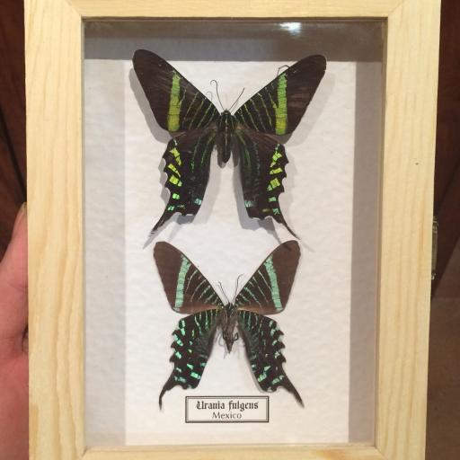 Mariposas autenticas disecadas Urania Fulgens Caja de Madera 15x20cm.  [0]