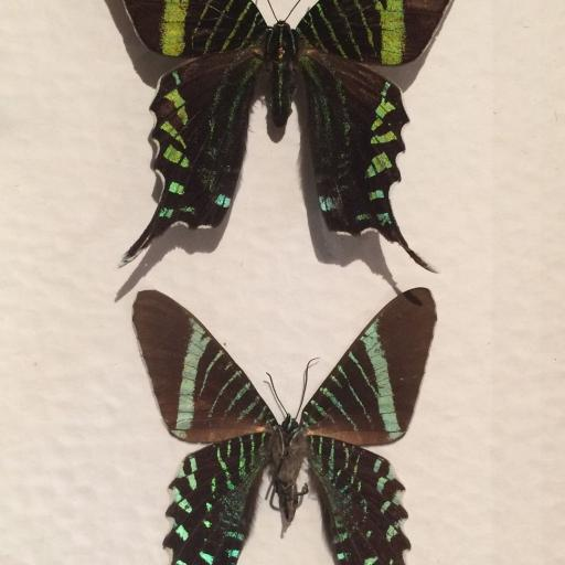Mariposas autenticas disecadas Urania Fulgens Caja de Madera 15x20cm.  [1]