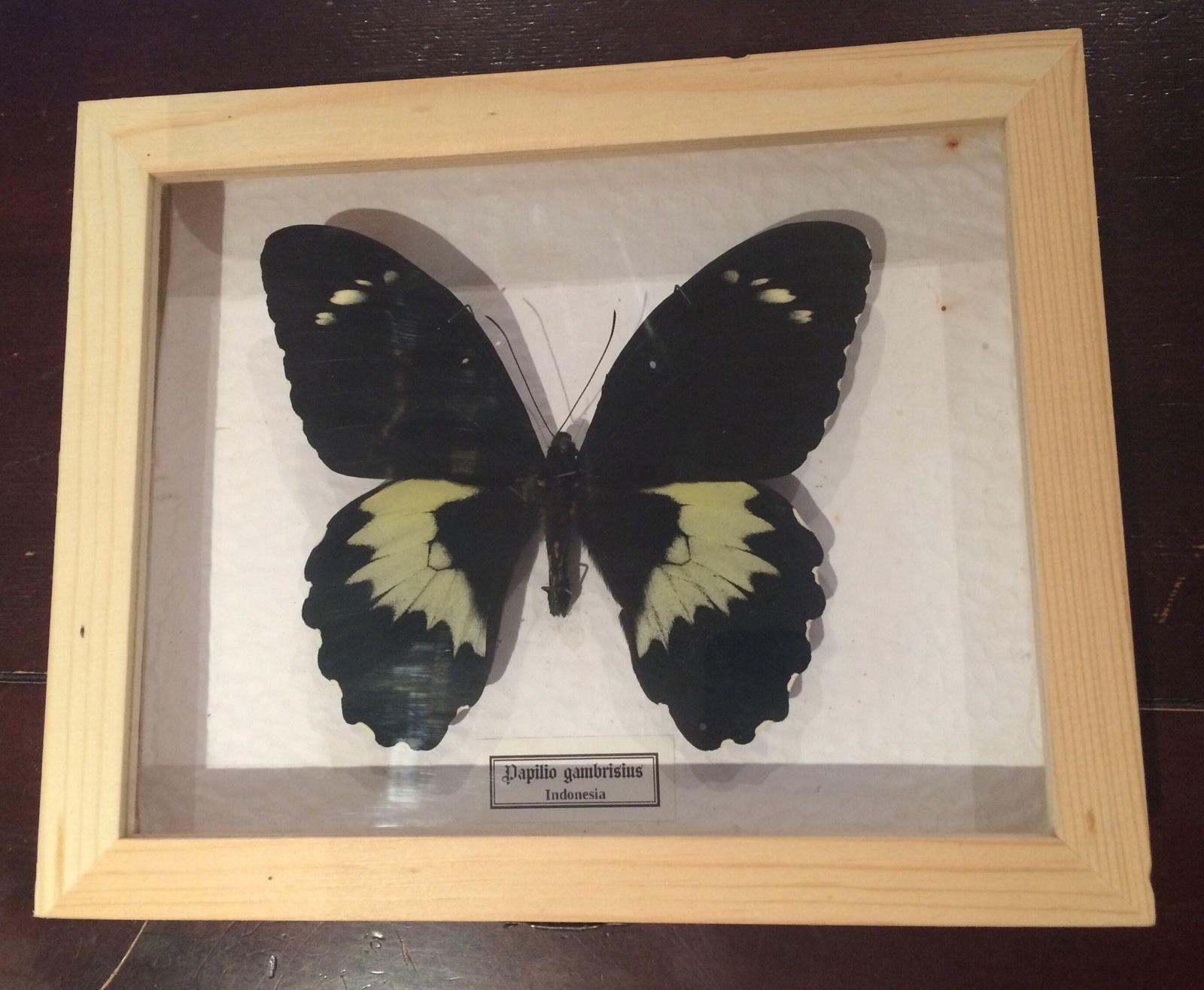 Mariposa autentica disecada Papilio gambrisius Giant! Caja de Madera 22x18x4 cm.