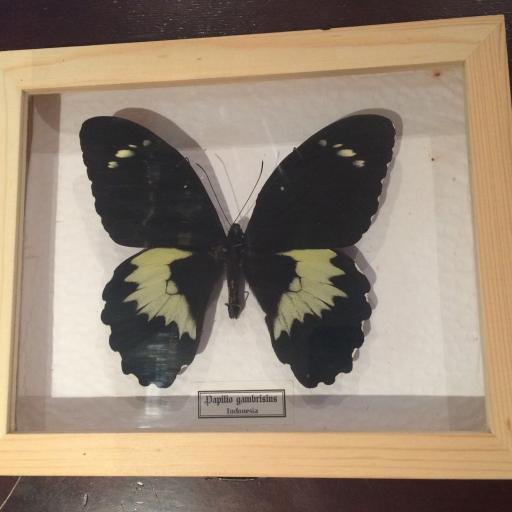 Mariposa autentica disecada Papilio gambrisius Giant! Caja de Madera 22x18x4 cm. [0]