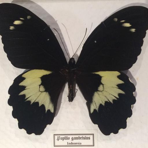 Mariposa autentica disecada Papilio gambrisius Giant! Caja de Madera 22x18x4 cm. [1]