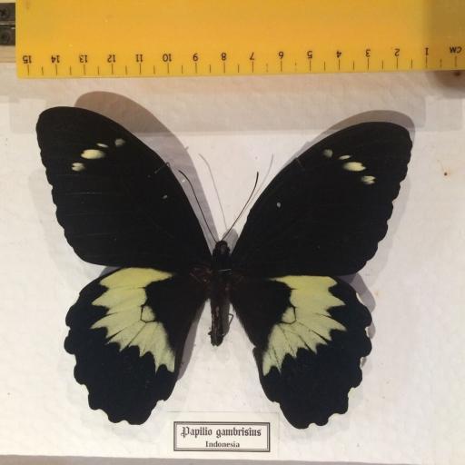 Mariposa autentica disecada Papilio gambrisius Giant! Caja de Madera 22x18x4 cm. [2]