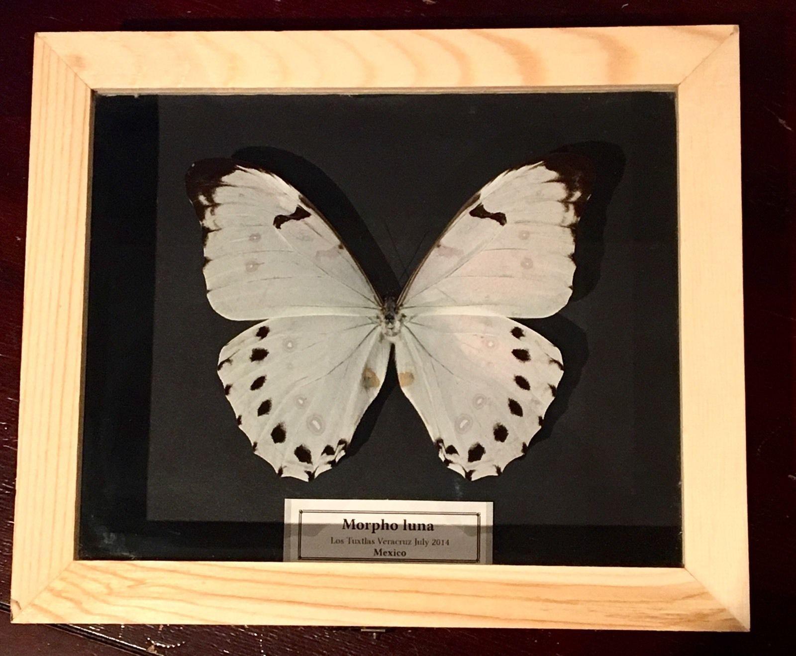 Auténtica mariposa MORPHO-LUNA en Caja-de-Madera-21x18x5cm