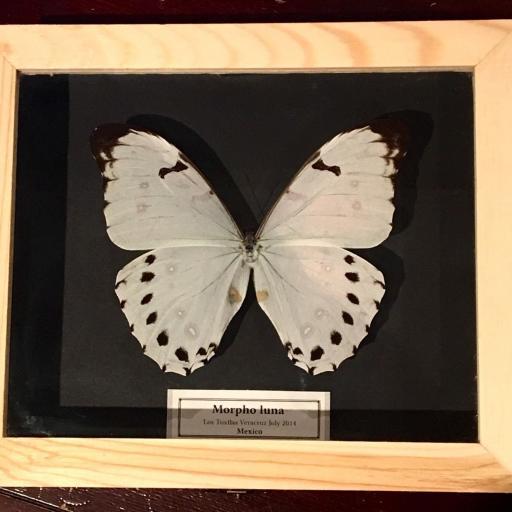 Auténtica mariposa MORPHO-LUNA en Caja-de-Madera-21x18x5cm      [0]