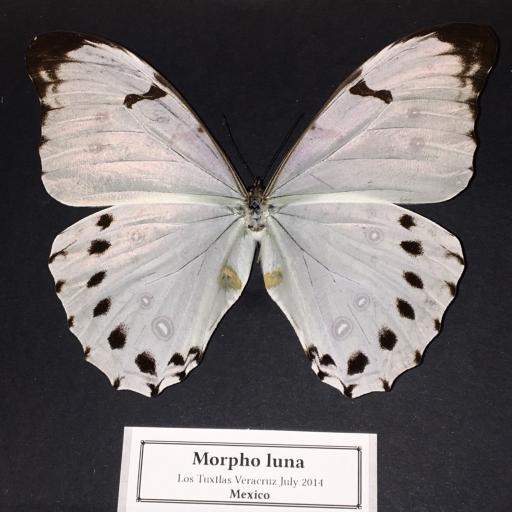 Auténtica mariposa MORPHO-LUNA en Caja-de-Madera-21x18x5cm      [1]