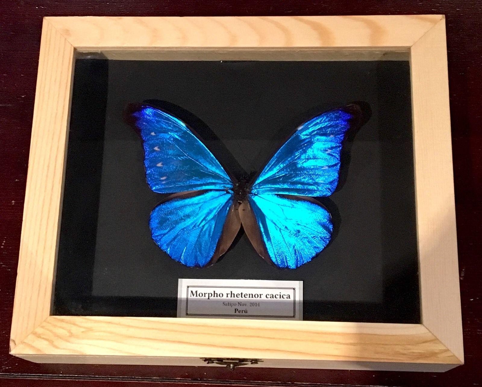 """ MORPHO RHETENOR CACICA "" Caja de Madera 21x18x5cm."