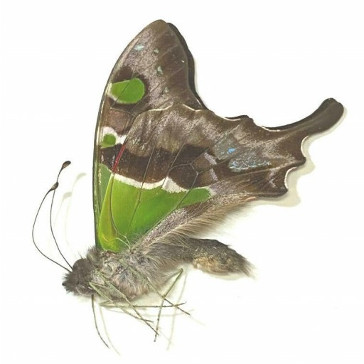 Graphium weiskei A1 Unmounted  Butterfly for Collection from Arfak