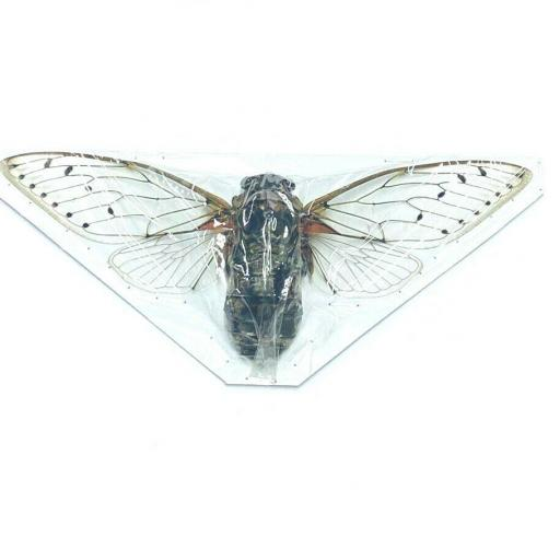Giant! Cicada Pomponia Intermedia Taxidermy Insects Tailandia Mounted A1