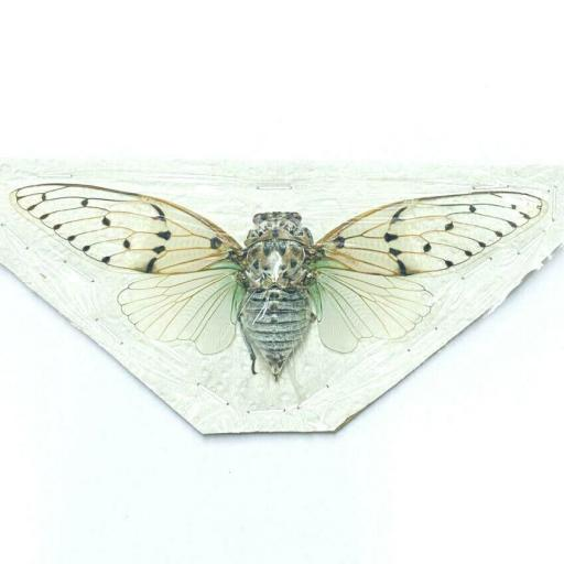White Ghost Cicada cicade (Ayuthia Spectabilis) Taxidermy Insects Tailandia Mounted A1 (No Framed)