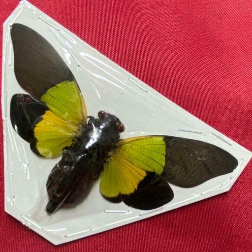 Trengganua sibylla Cicada Mounted A1 ( no framed ) Taxidermy Insects Activo