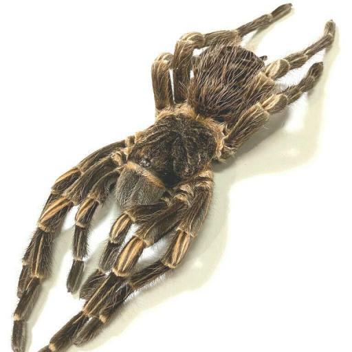 Giant Spider! Acanthoscurria juruenicola A1 Unmunted from Peru