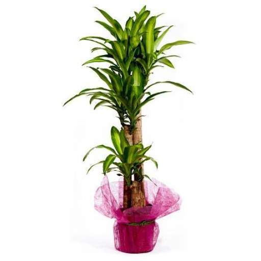 Tronco Dracena Massagiana